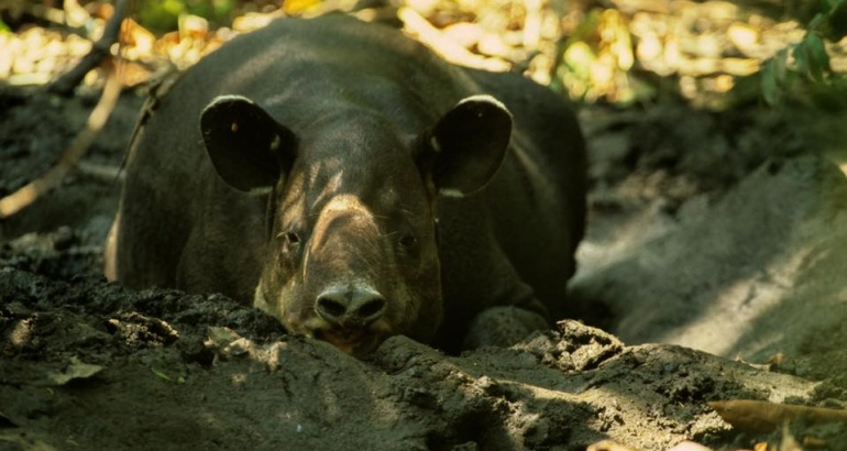 Where can I see a tapir walking on the beach?