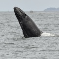 The jump of the whale: imposing greeting from the queen of the sea